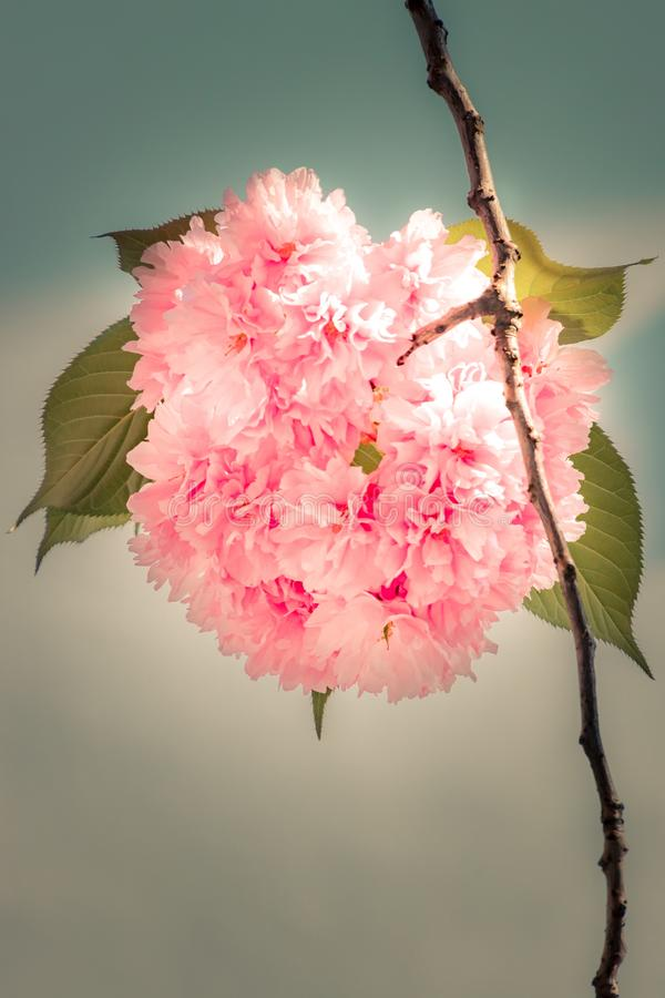 Boule de fleurs de cerisier photographie stock