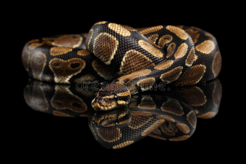 Boule ou serpent royal de python sur le fond noir d'isolement photographie stock