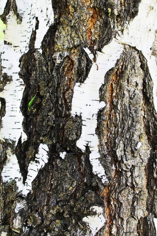 Download Bouleau photo stock. Image du gris, noir, deciduous, fissure - 45354828