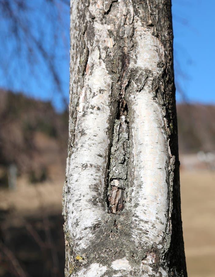 bouleau avec la fente dans le cortex avec la forme comme un vagin photo libre de droits