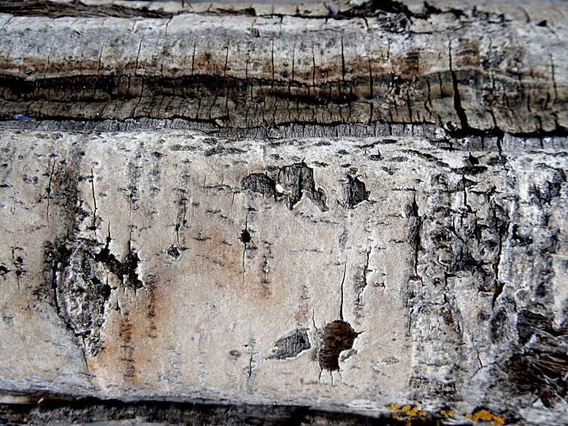 Bouleau blanc - écorce et tronc rugueux de bouleau en tant que texture intéressante photo libre de droits