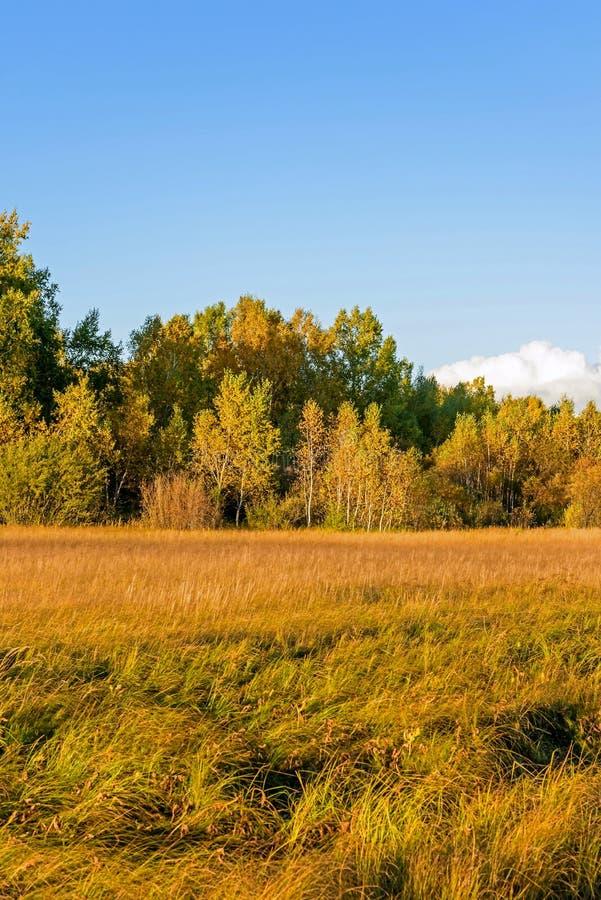 Bouleau blanc et prairie photographie stock