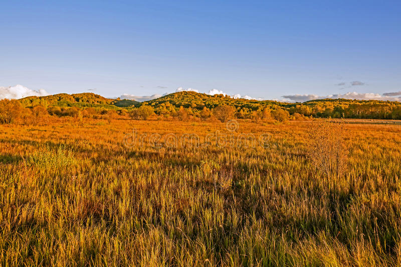 Bouleau blanc et prairie photographie stock libre de droits