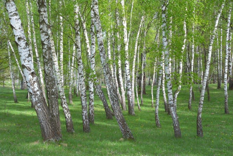 Bouleau commun, forêt de Betula pendula photos libres de droits