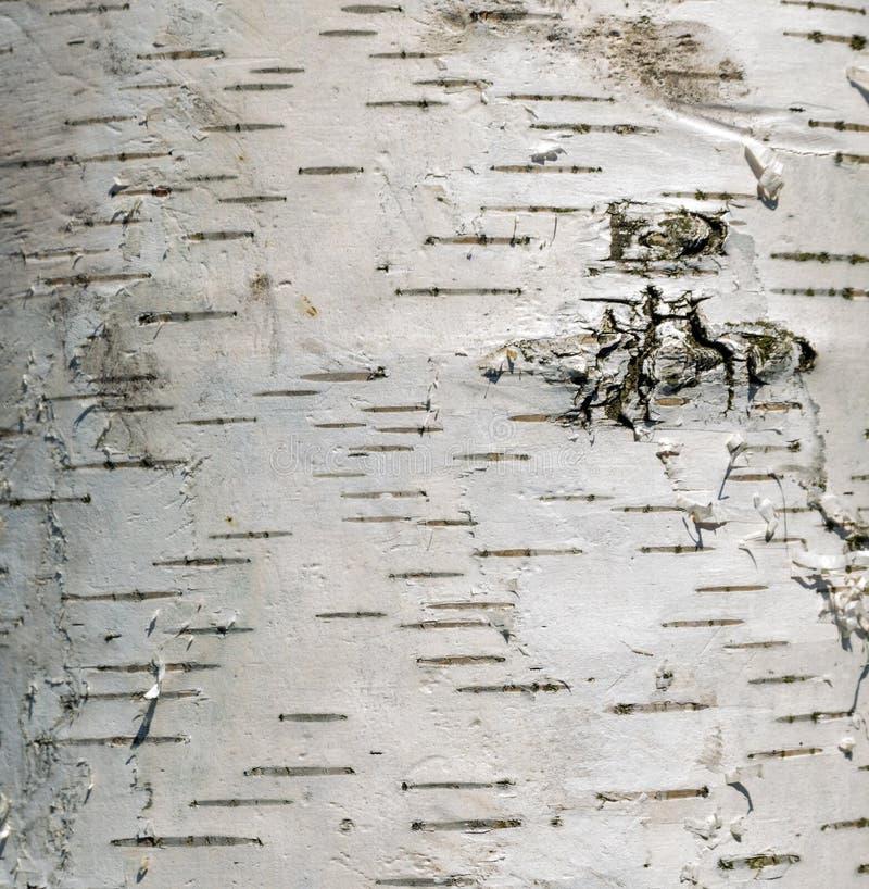 Bouleau d'arbre de cortex images stock