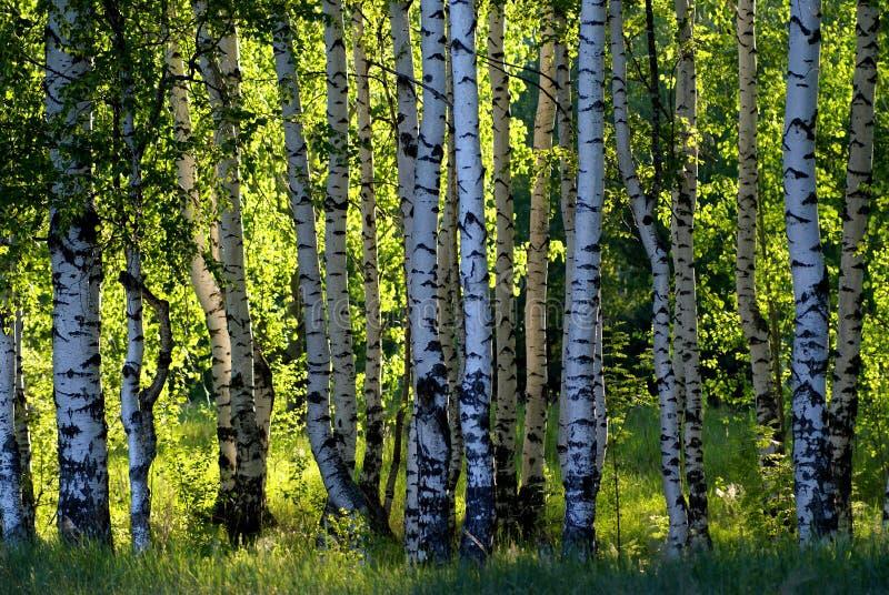 Bouleau de forêt images stock