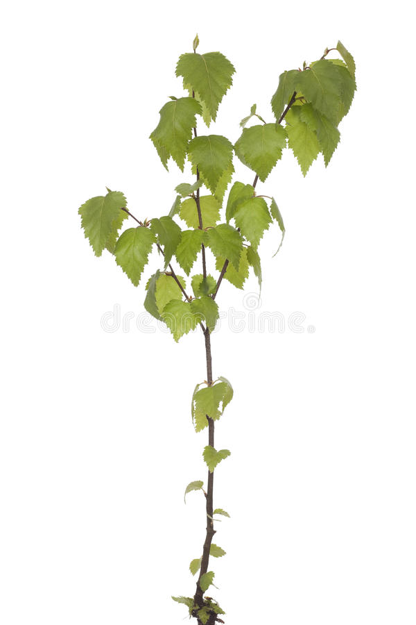 Bouleau de jeune plante photos stock