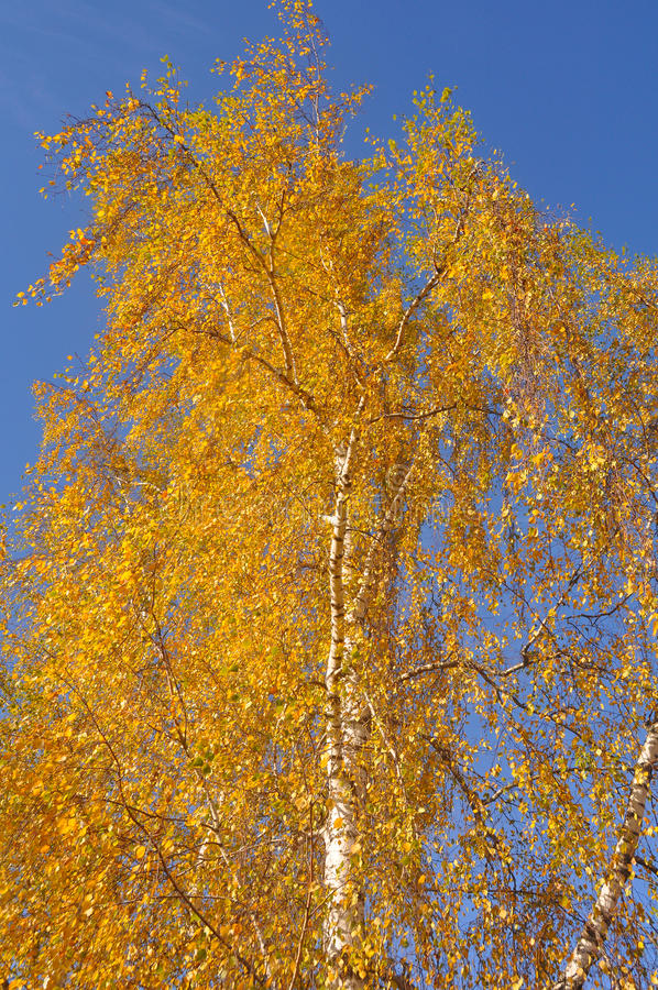 Download Bouleau orange image stock. Image du automne, été, saison - 45367349