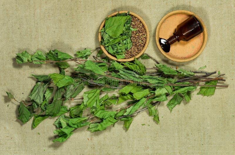 bouleau Usines sèches Phytothérapie, herbes médicinales phytotherapy images libres de droits