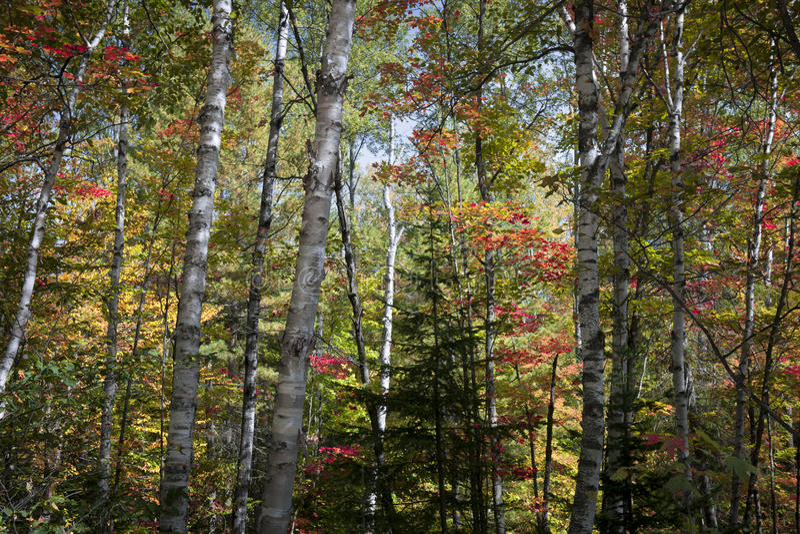 Bouleaux dans la forêt de chute photos stock