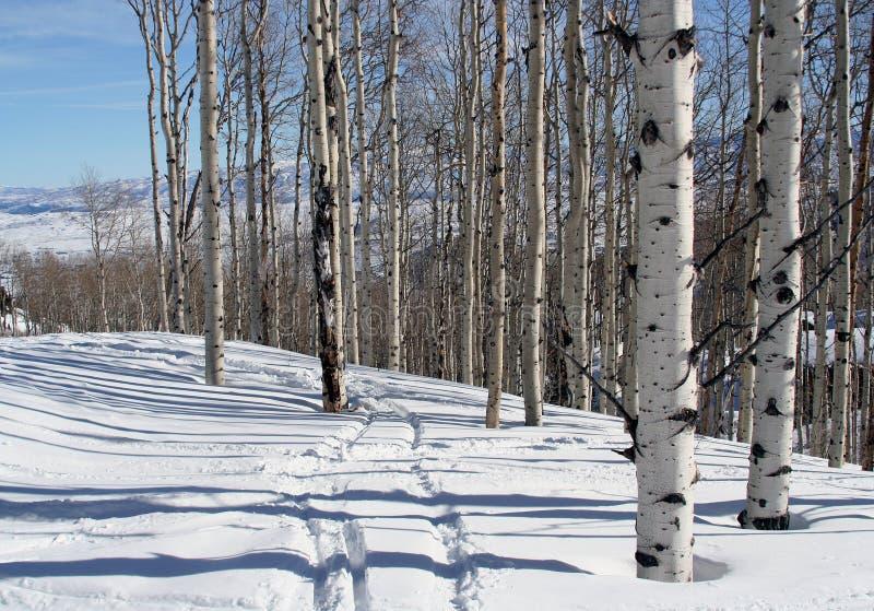 Bouleaux dans la neige. photographie stock libre de droits