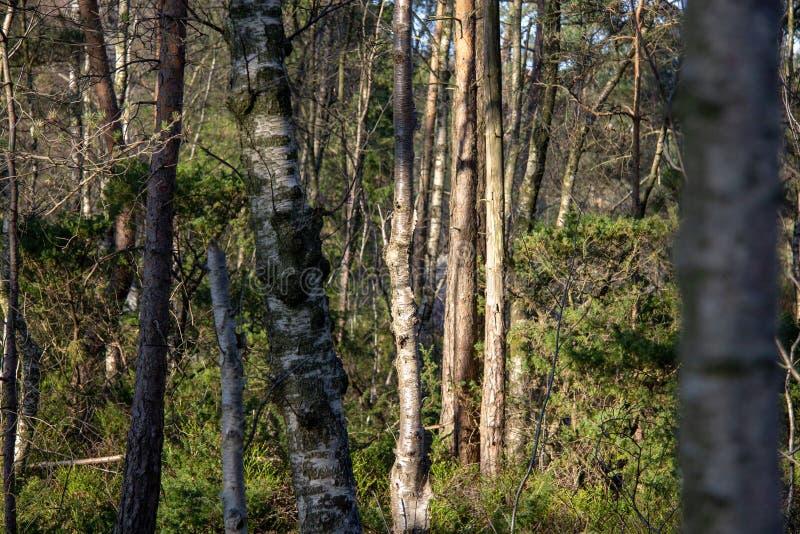 Bouleaux dans les bois photographie stock