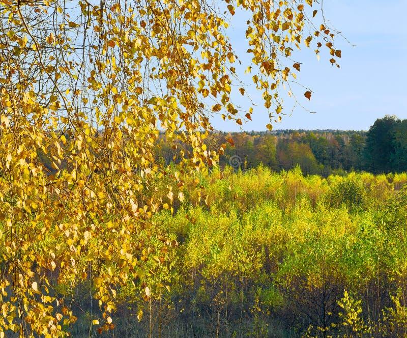 Bouleaux en automne photographie stock