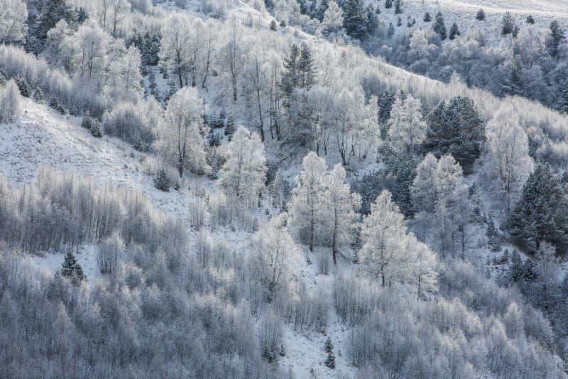 Bouleaux en gelée sur un flanc de coteau image libre de droits