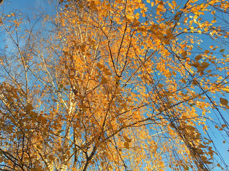 Bouleaux jaunes contre le ciel bleu photos libres de droits