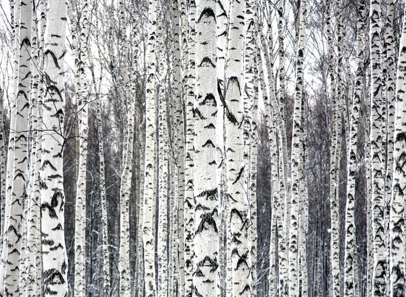 Bouleaux noirs et blancs photographie stock