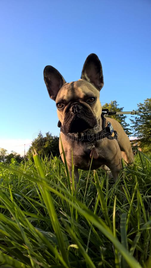 bouledogue images libres de droits