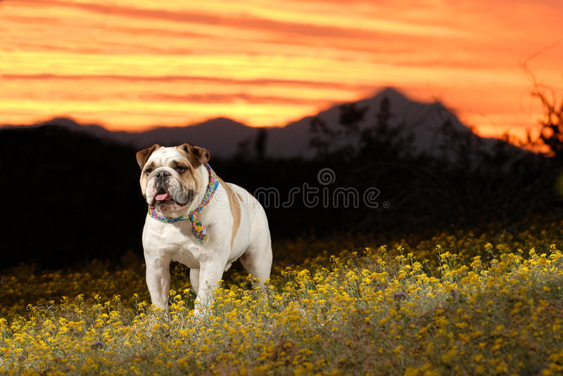 Bouledogue anglais photographie stock libre de droits