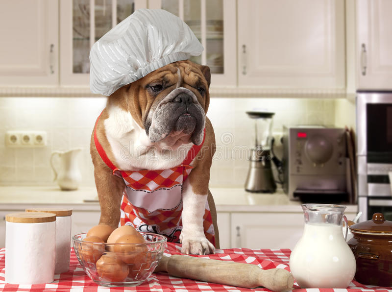 Bouledogue anglais dans la cuisine image stock image - Chef de cuisine en anglais ...