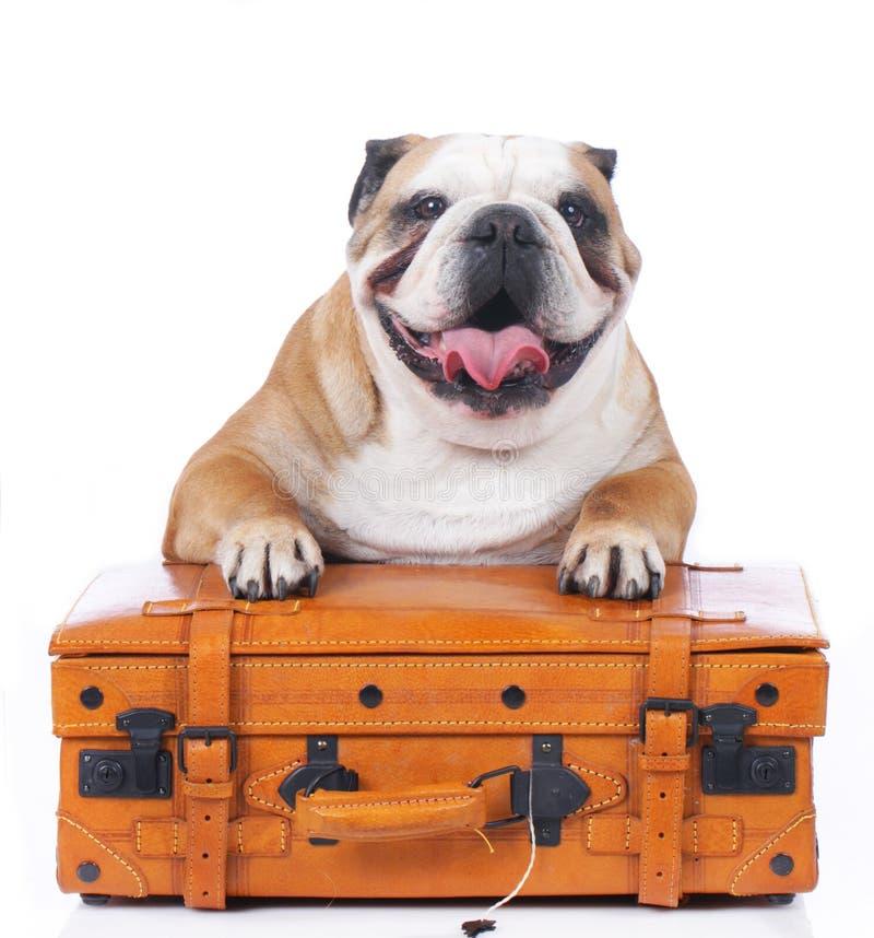 bouledogue anglais se reposant sur la valise de voyage photo stock