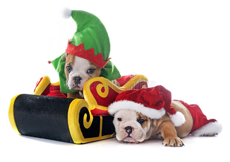 Bouledogue de l'anglais de chiot de Noël images stock