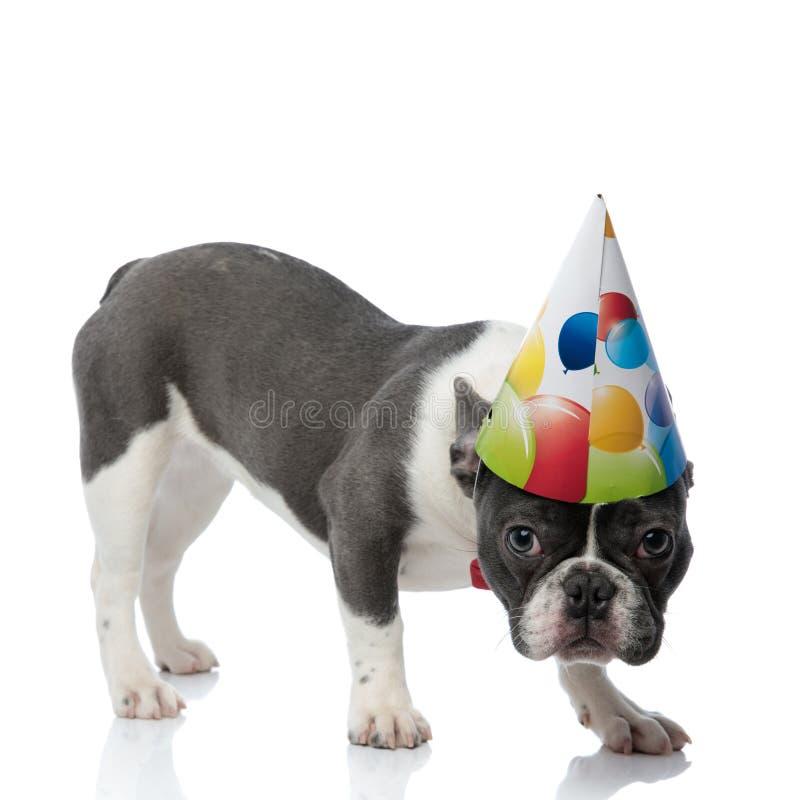 Bouledogue français avec la position de chapeau de fête d'anniversaire avec la tête vers le bas photos stock