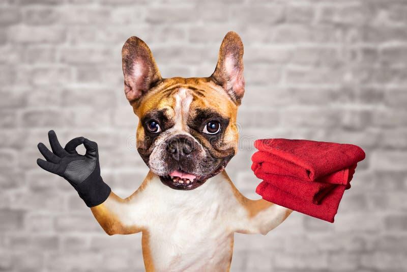Bouledogue fran?ais de gingembre dr?le de chien tenir les serviettes rouges et montrer un signe approximativement Animal sur le f images stock