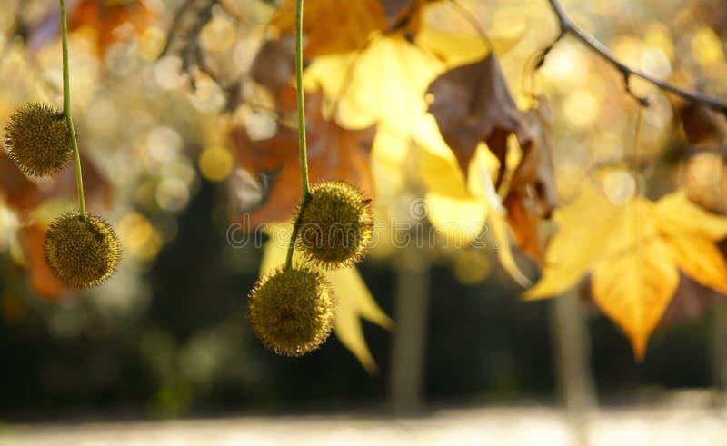 Boules de graine de sycomore photo stock