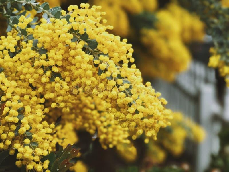 Boules jaunes de fleur photos stock