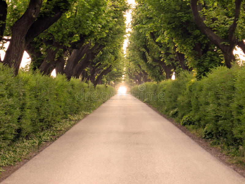 Boulevard trees. Perspective view with nobody royalty free stock photography