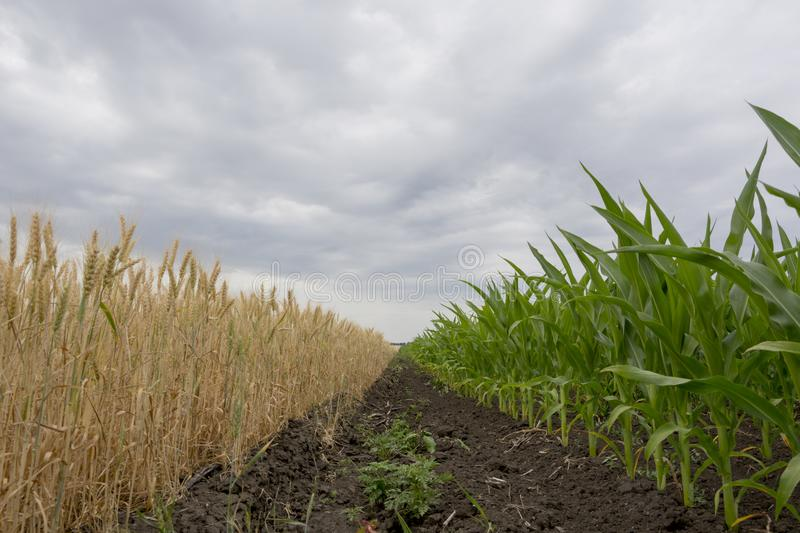 The boundary fields with maturing grain crop, rye, wheat or barley, the fields green with growing corn. The boundary fields with maturing grain crop, rye, wheat royalty free stock image