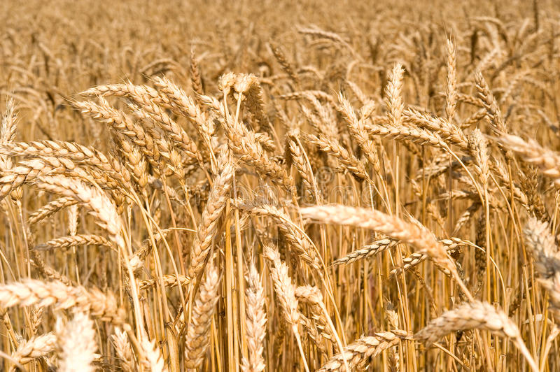 Download Boundless field of wheat stock image. Image of growing - 15047335