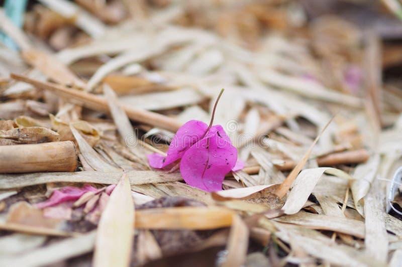 boungainvilleablommor arkivbild
