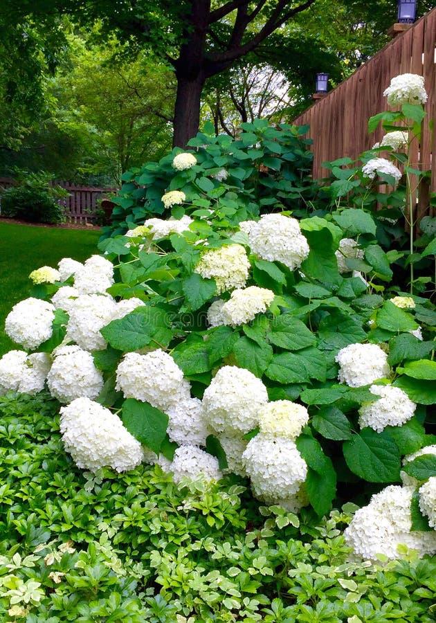 Bountiful Hydrangeas stock photography