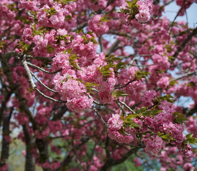 Bountiful pink cherry tree blossoms. Springtime offers an abundance of flowering fruit trees bearing dense blossoms stock photography