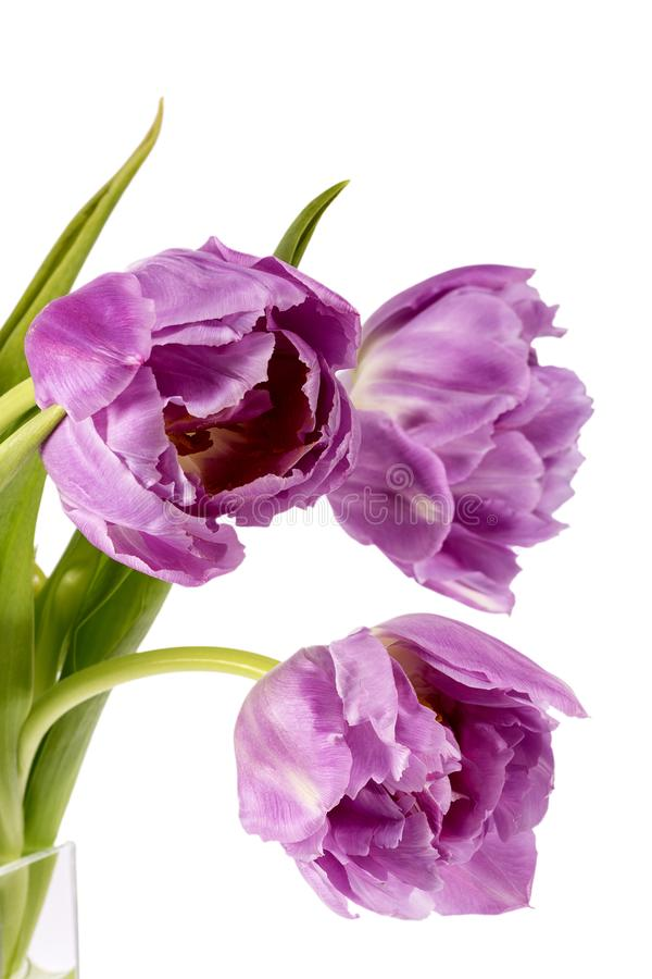 Bouqet des tulipes roses de fleurs de ressort d'isolement sur le fond blanc, fin  photographie stock