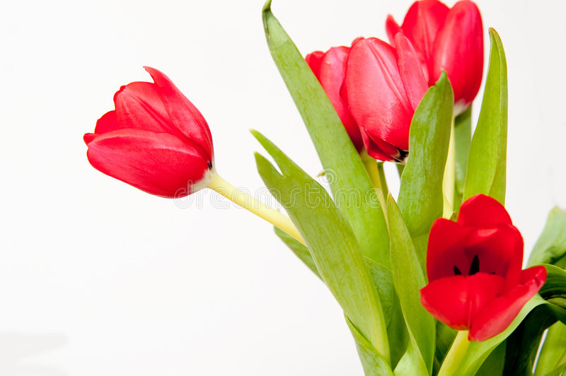 Bouqet of red tulips. Isolated on white stock photo