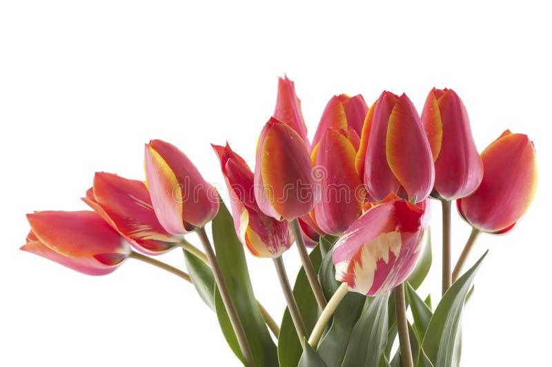 Bouqet rojo de los tulipanes fotografía de archivo
