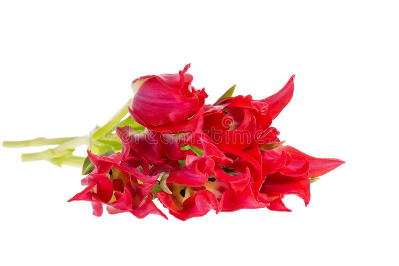 Bouqet of spring flowers red tulip isolated on white background, close up. royalty free stock photo