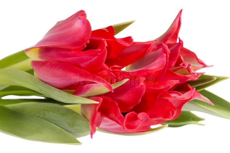 Bouqet van de rode die tulp van de de lentebloem op zwarte achtergrond, dichte omhooggaand wordt geïsoleerd royalty-vrije stock fotografie
