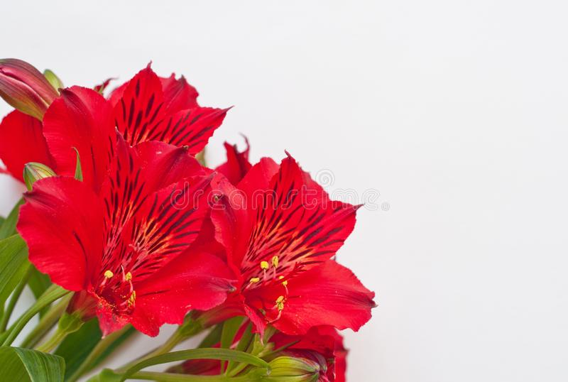 Bouquet of alstroemeria flowers. Red flowers on white background. Peruvian Lily stock image