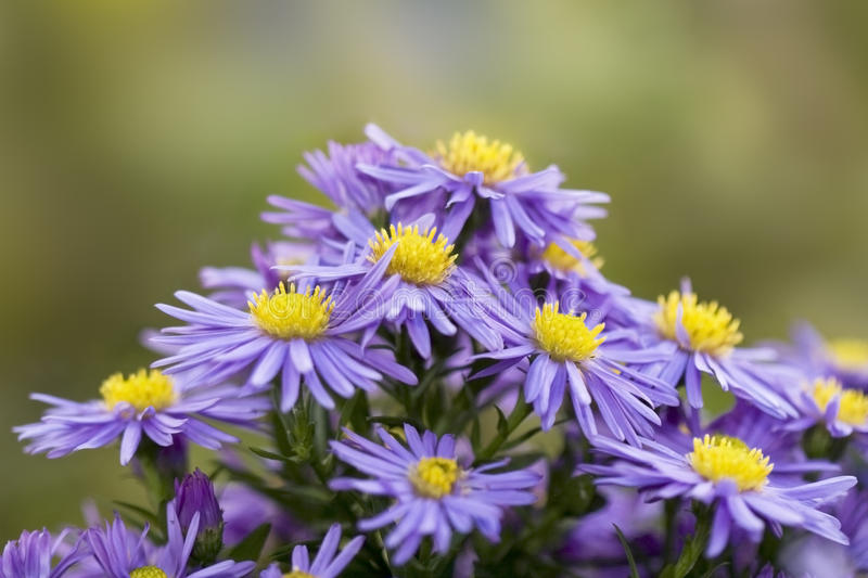 Bouquet Of Asters. Royalty Free Stock Photos