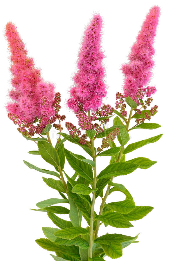 Download Bouquet of astilbe flowers stock photo. Image of perennial - 27185542