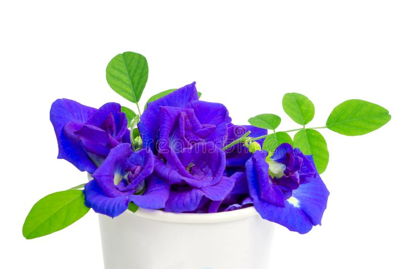 A bouquet of beautiful blue Butterfly pea and green leaf in a white paper cup, known as bluebell vine or Asian pigeon wings. Isolated on white background and royalty free stock image