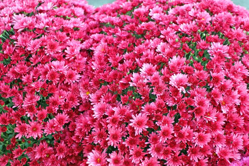 A bouquet of beautiful chrysanthemum flowers outdoors. Chrysanthemums in the garden. Colorful flower chrisanthemum. Floral pattern royalty free stock image