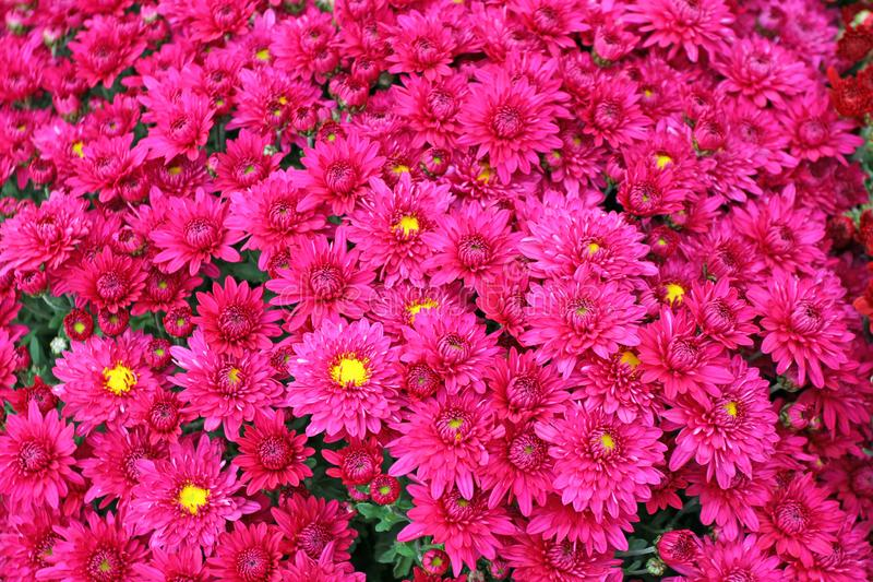 A bouquet of beautiful chrysanthemum flowers outdoors. Chrysanthemums in the garden. Colorful flower chrisanthemum. Floral pattern royalty free stock photo