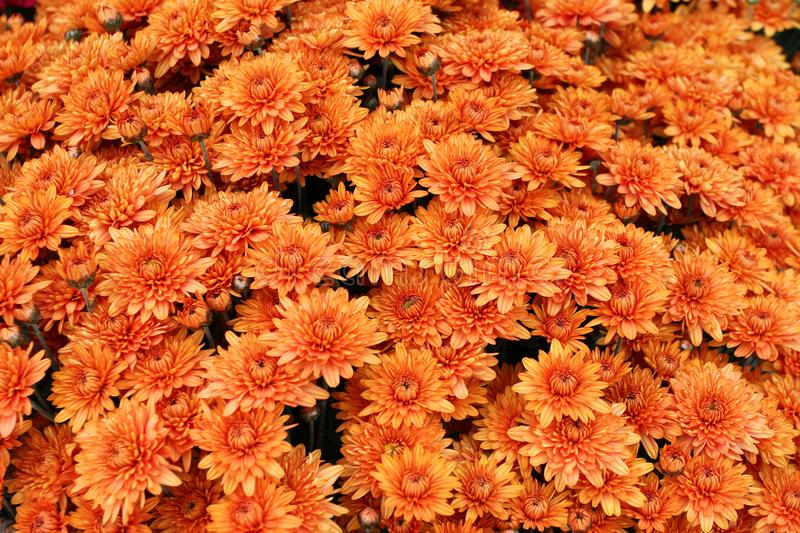 A bouquet of beautiful chrysanthemum flowers outdoors. Chrysanthemums in the garden. Colorful flower chrisanthemum. Floral pattern royalty free stock photos
