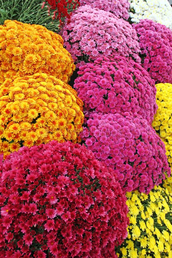 A bouquet of beautiful chrysanthemum flowers outdoors. Chrysanthemums in the garden. Colorful flower chrisanthemum. Floral pattern stock photos