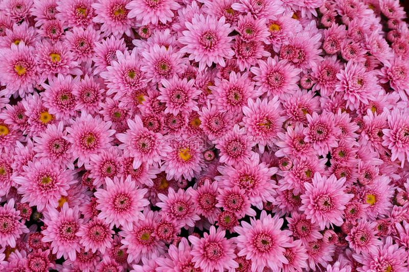 A bouquet of beautiful chrysanthemum flowers outdoors. Chrysanthemums in the garden. Colorful flower chrisanthemum. Floral pattern. Flowers background texture stock image