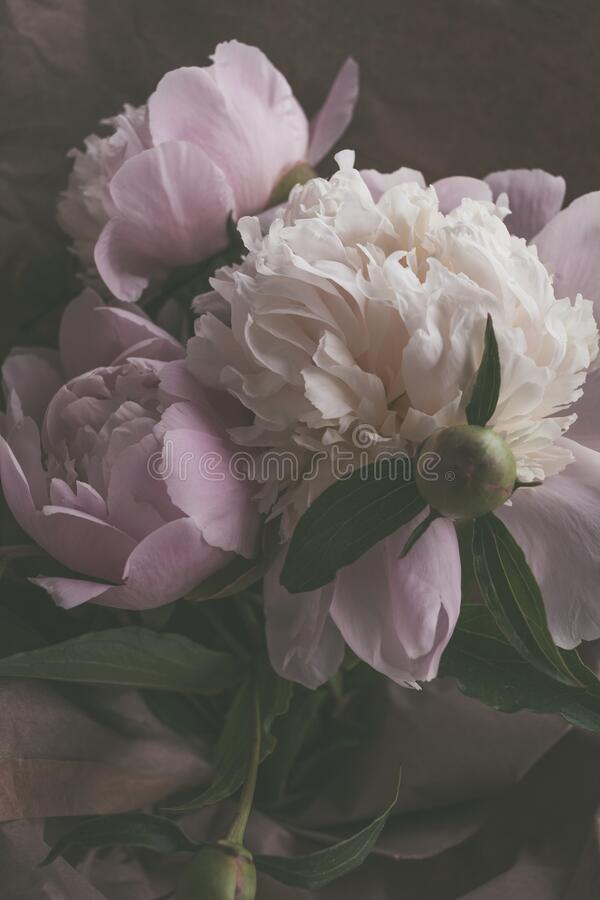Bouquet of beautiful delicate light pink and white peonies flowers close up stock photos